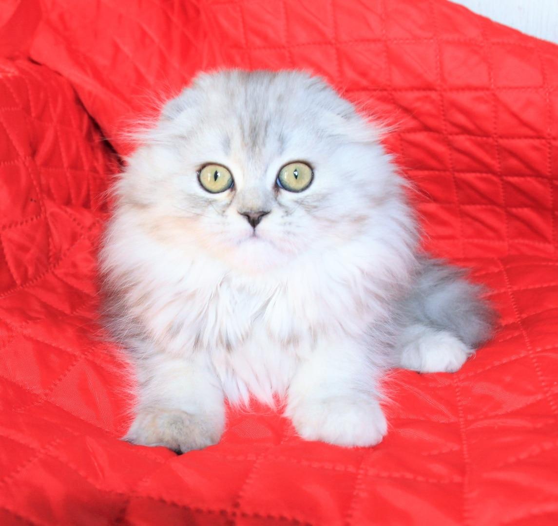 Хейленди // Котенок шотландской кошки хайленд фолд (помет H)