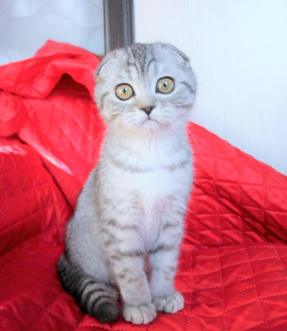 Хенди // Котенок Шотландской кошки скоттиш фолд (помет H)
