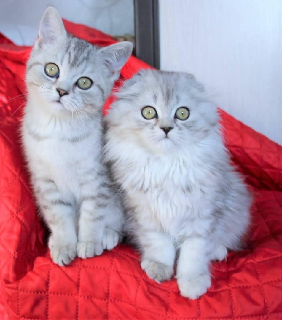 Котята Шотландской кошки Скоттиш Фолд // Хайленд фолд и  Страй (помет H)т