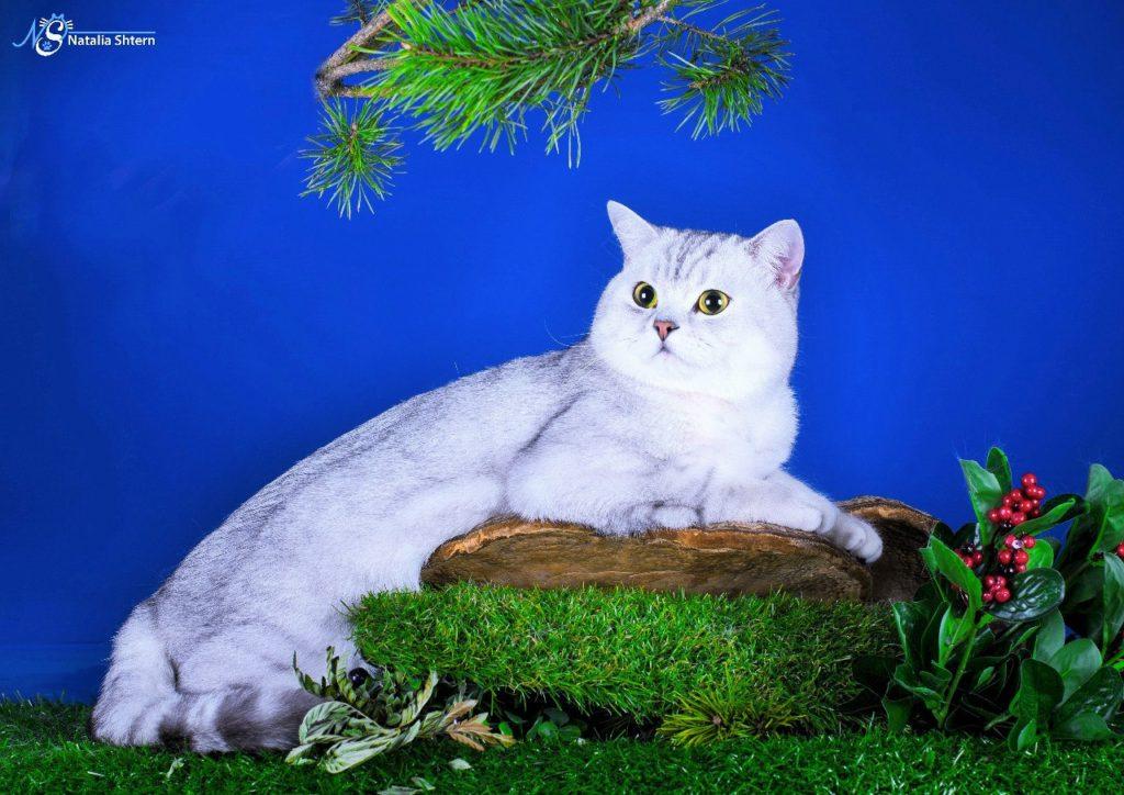 Шотландская кошка для вязки