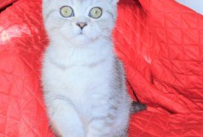 Хлоя // Котенок Шотландской кошки скоттиш страйт (помет H)