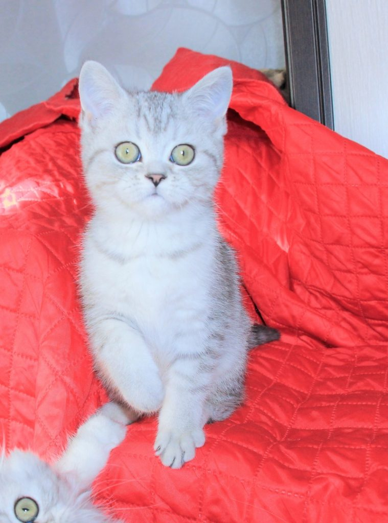 Шотландская кошка скоттиш страйт