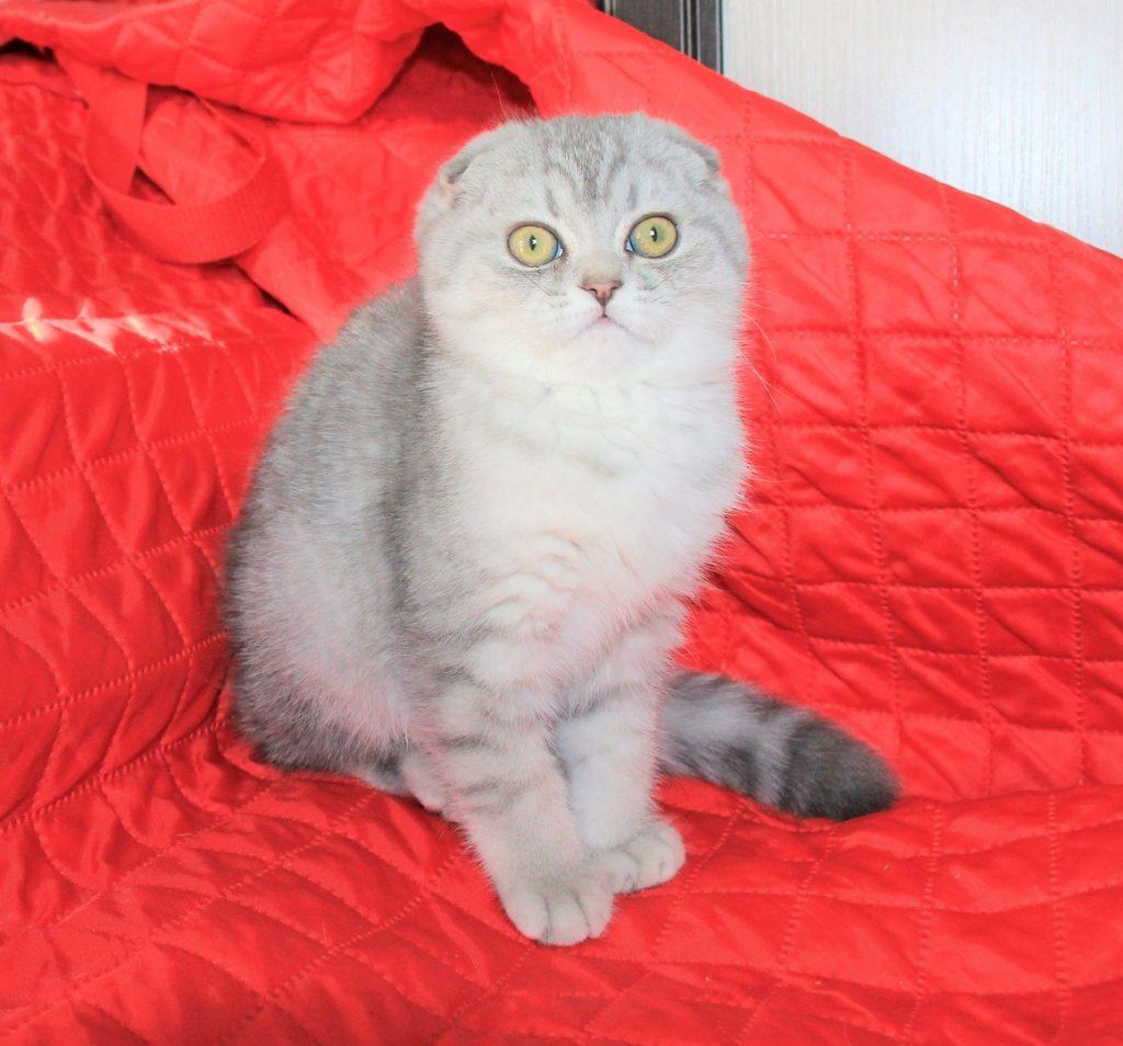 шотландские котята с фото в курске гуэля